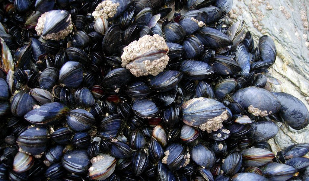 Scientists Confirm Invasive American Brackish Water Mussel Has Come to Kochi Backwaters