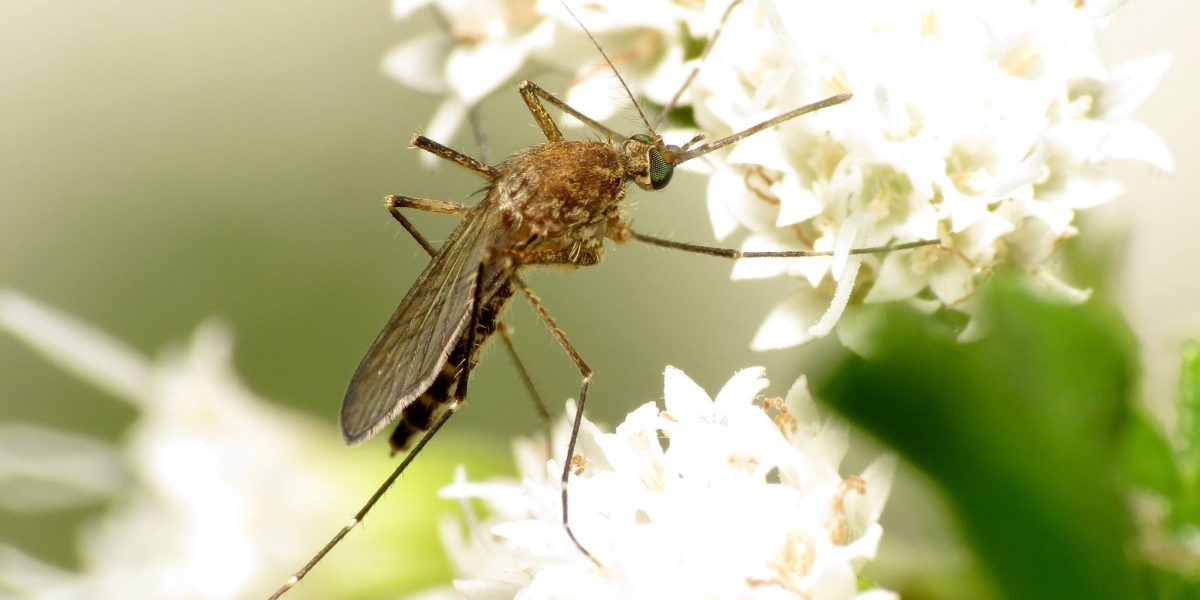 The Ecological Importance of Mosquitoes