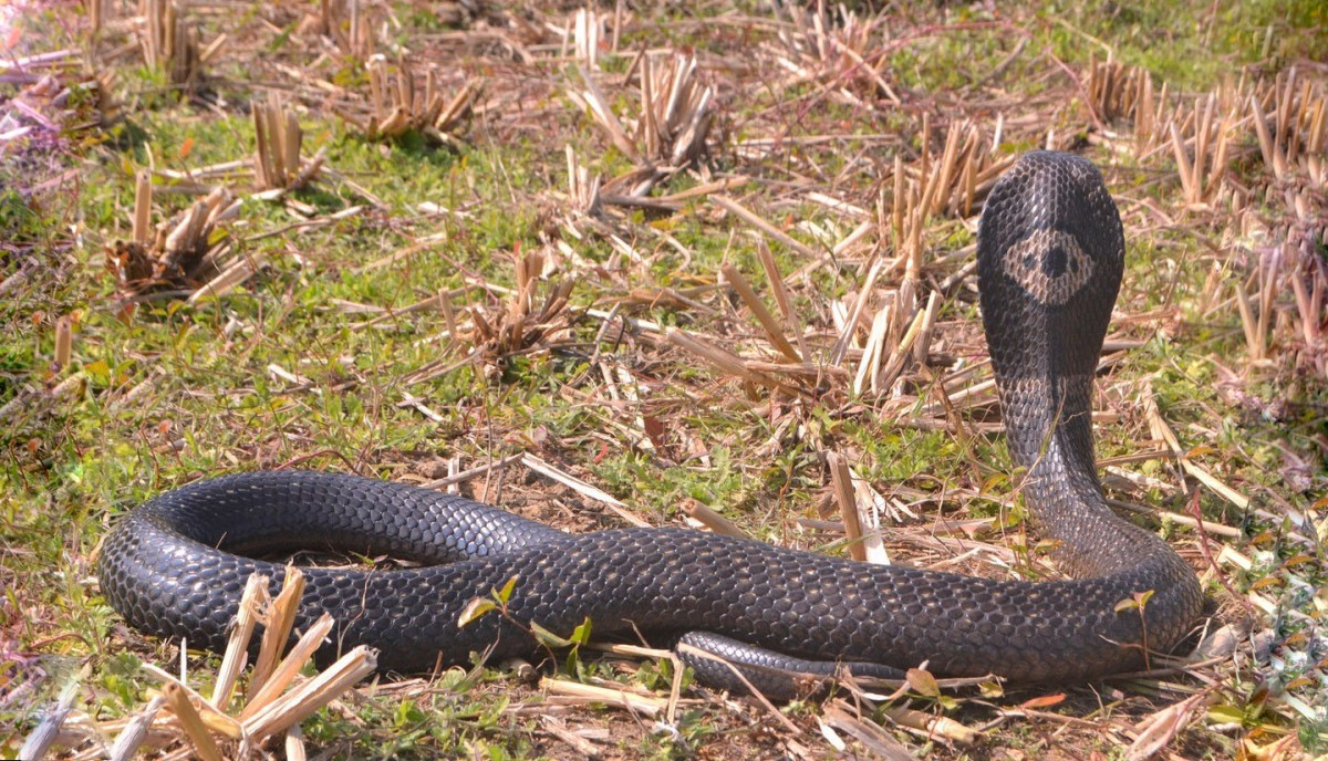 India Has a Big Problem: Its Snake Anti-Venoms Don't Work Properly