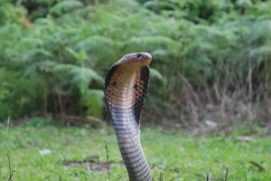 India Has a Big Problem: Its Snake Anti-Venoms May Not Work Properly