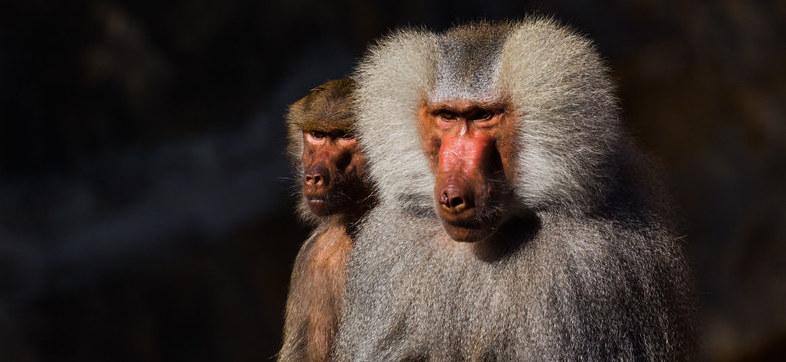 Timeline for Speech Evolution Pushed Back 27 Million Years