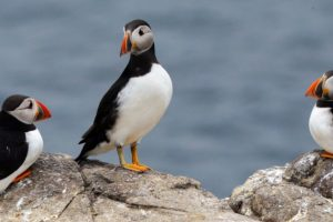 Puffins Use Tools. Have We Underestimated Their Intelligence?