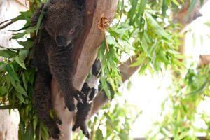 'Ecological Disaster': Australian Bushfires Endanger Koalas, Wallabies