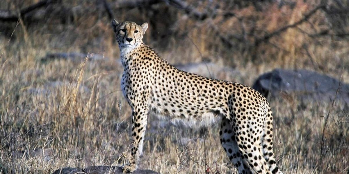 Why Bringing Cheetahs Back Is India's Best Bet to Protect Its Threatened Drylands