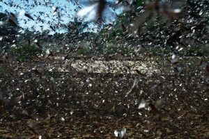 For Farmers Facing India's Biggest Locust Attack, Govt Provides Insufficient Relief