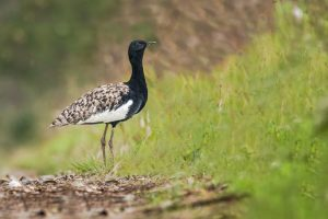 Can the Bengal Florican Make Its Case at the Convention for Migratory Species?