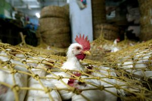 The Govt Must Quickly Act to Counter the Wild Rumours Killing the Poultry Sector