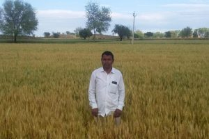 With No Combine Harvesters Available, Farmers Unable to Harvest Ready Crops