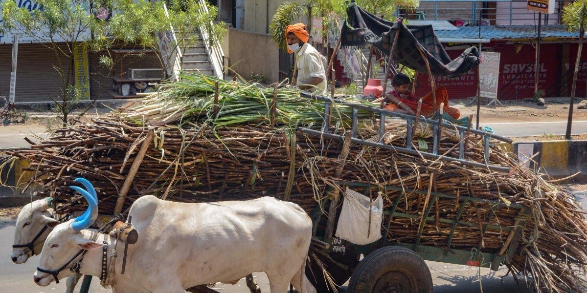 As Mills Delay Payments Like Every Year, Lockdown Adds to Sugarcane Farmers' Woes