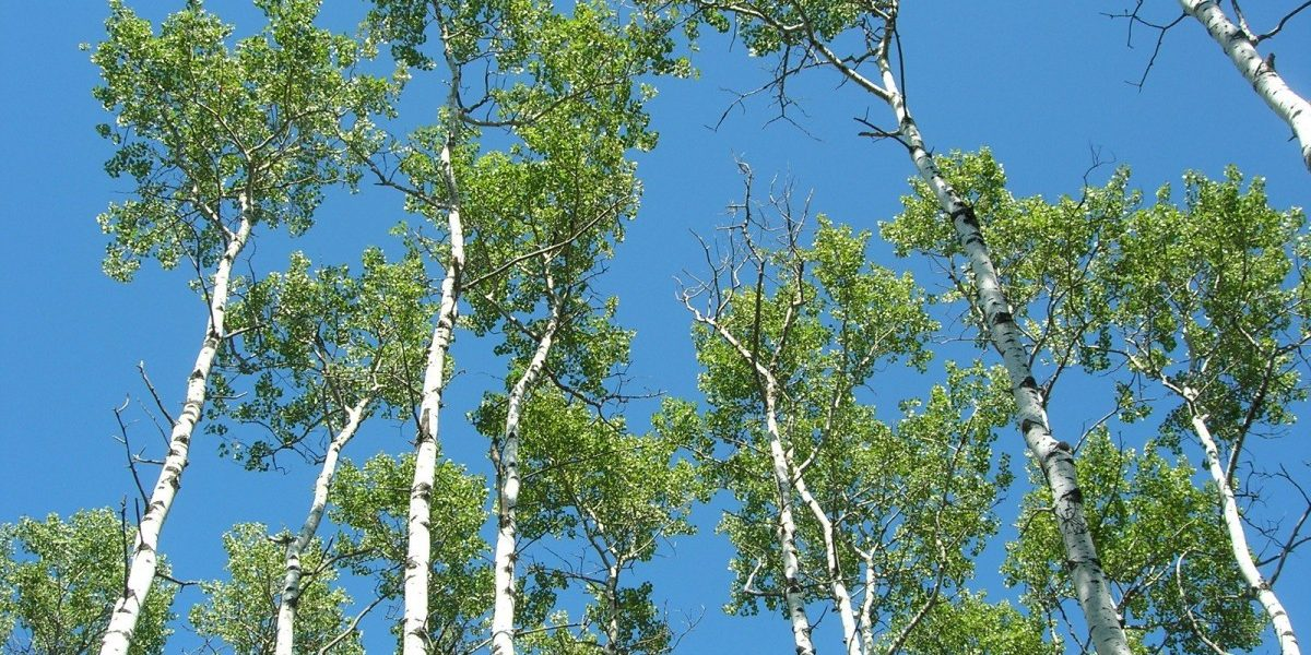 No Studies to Link COVID-19 to Pollen But Kashmir Government Wants 42,000 Poplars Axed