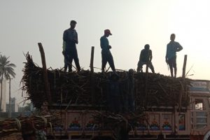 Gujarat: Migrant Sugarcane Harvesters Are Forced to Work Through the Pandemic