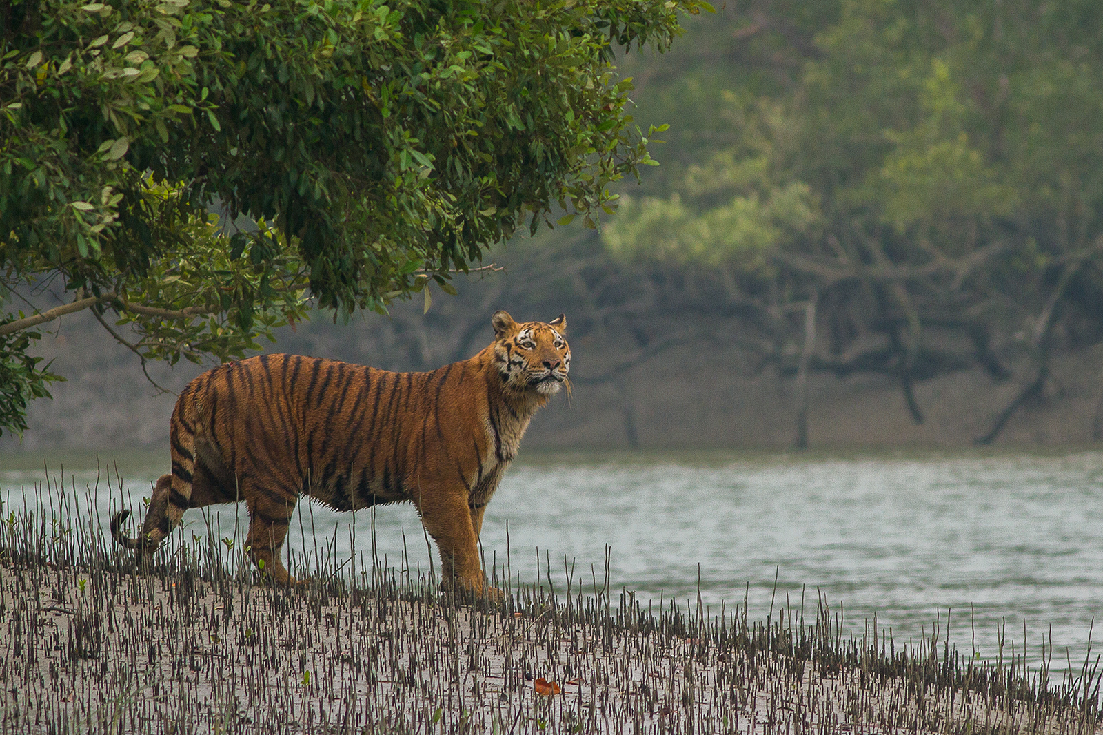 Number of Tigers in the Sundarbans Rises From 88 to 96