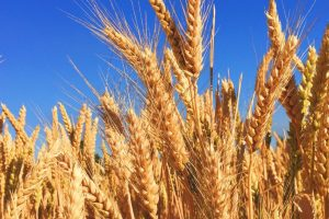 Govt Says Wheat Procurement Has Already Surpassed Last Year's 34.13 MT