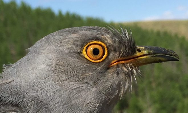How Satellite Tracking Is Helping Scientists Understand Cuckoos – The Wire Science
