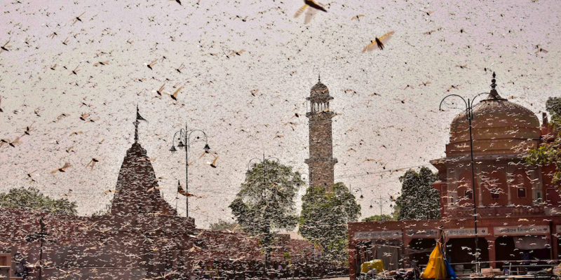 Climate Change Brings the Worst Locust Attack in Decades to India