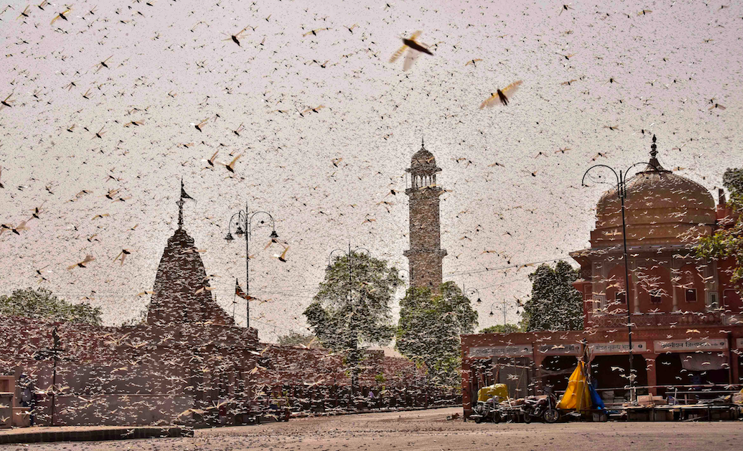 Climate Change Brings the Worst Locust Attack in Decades to India - The Wire Science
