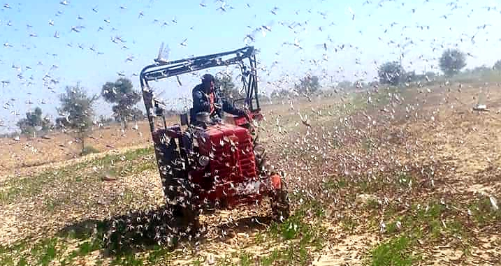 Rajasthan Govt Shrinks Relief Coverage Even as Locust Survey Records High Crop Loss