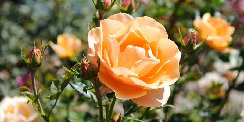 In New India, a Muslim Rose Smells Different From a Hindu Rose