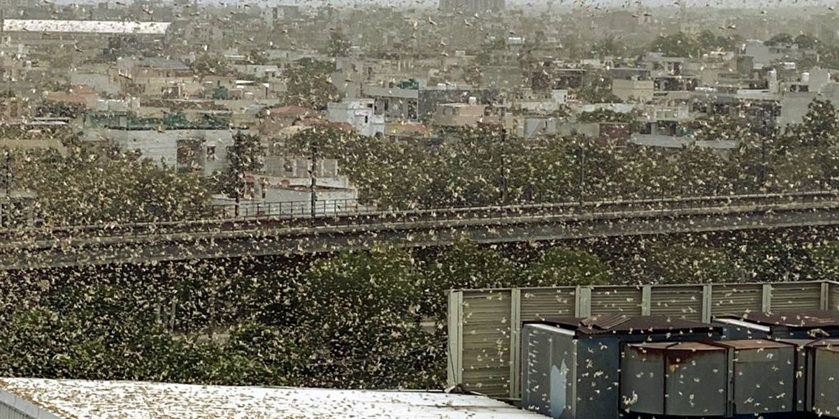 Locust swarms spotted in multiple places in Gurugram