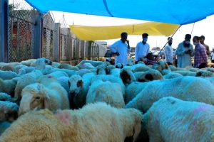 Eid al-Adha: The Sale of Sacrificial Animals Sees Huge Dip in Kashmir