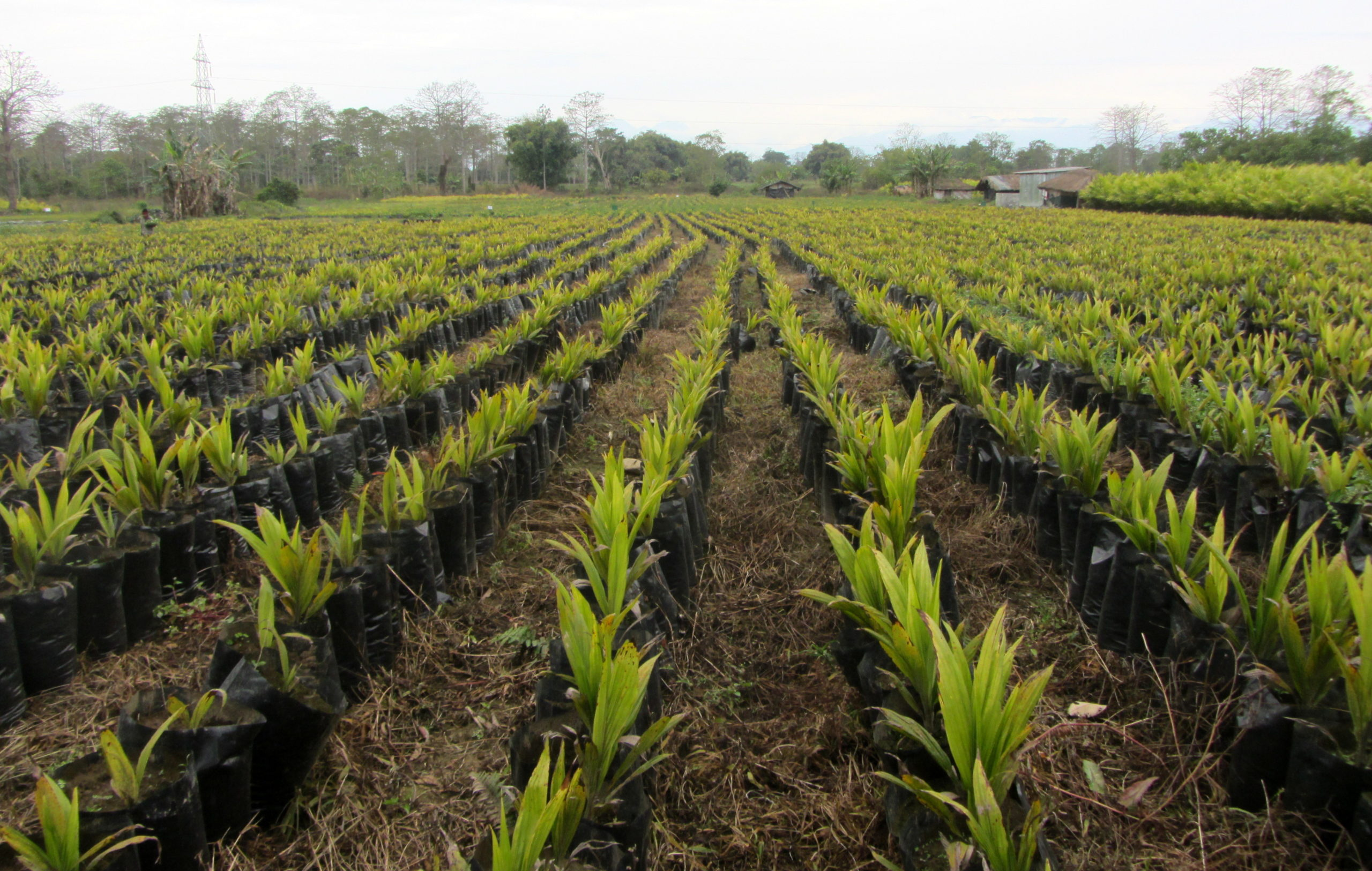 Expanding Oil Palm Plantations in the Northeast Could Exact a Long-Term Cost – The Wire Science