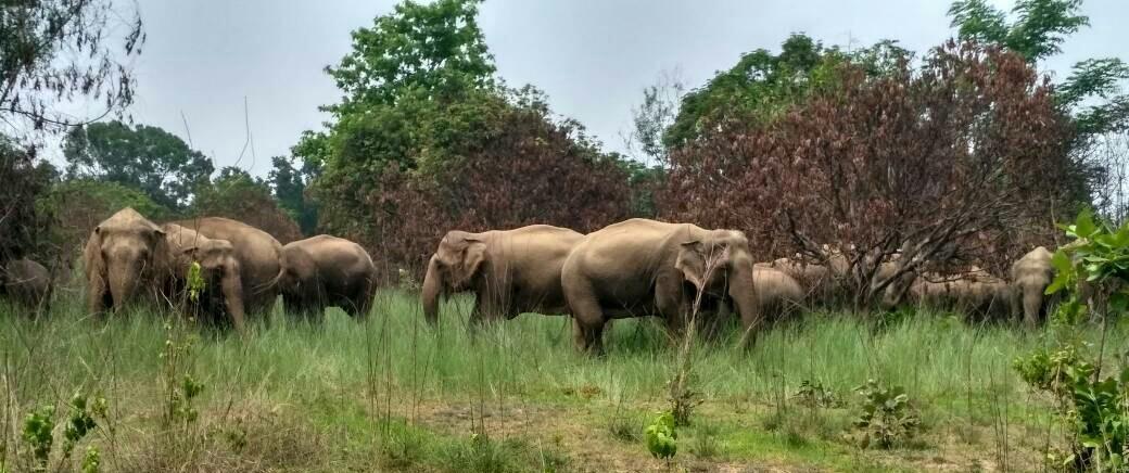 The Elephants of Odisha Face an Uncertain and Dangerous Future