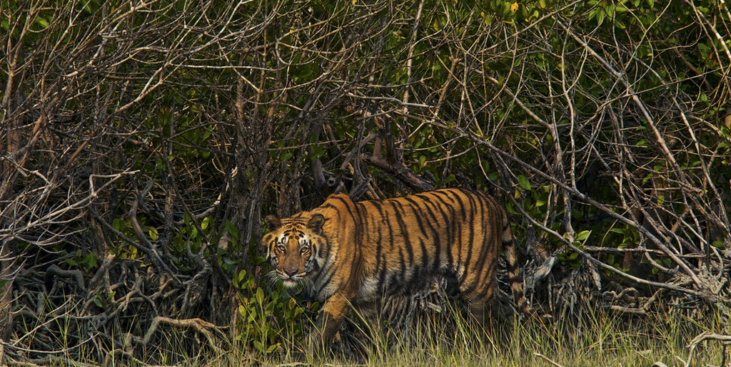 Sundarbans an 'Endangered' Ecosystem Under IUCN Red List, Researchers Say - The Wire Science