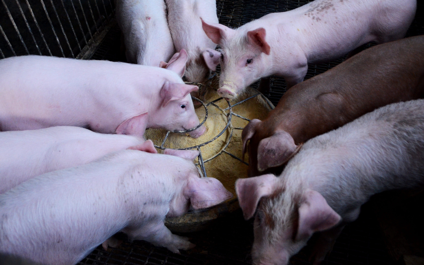 New China Swine Fever Strains Point To Use of Unlicensed Vaccines – The Wire Science