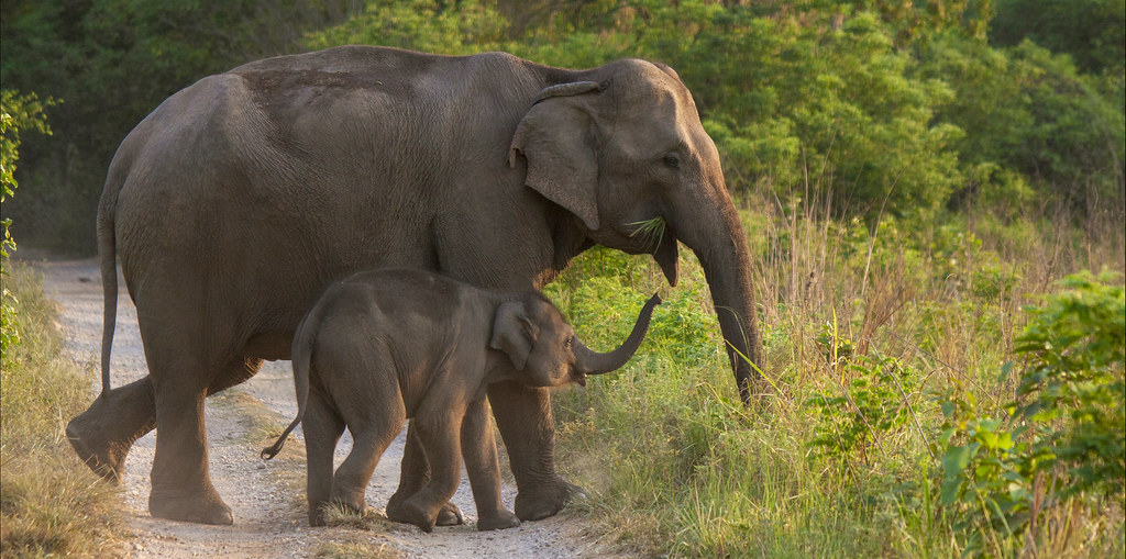 Chhattisgarh: Elephant Calf Found Dead, 15th Death Since June – The Wire Science