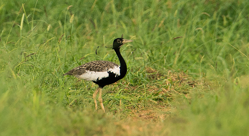 Only 11 Lesser Floricans Left in Madhya Pradesh, but There's Hope in Rajasthan – The Wire Science