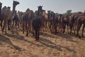 Rajasthan: No Cattle Fair This Year, Camel Owners Worst Hit