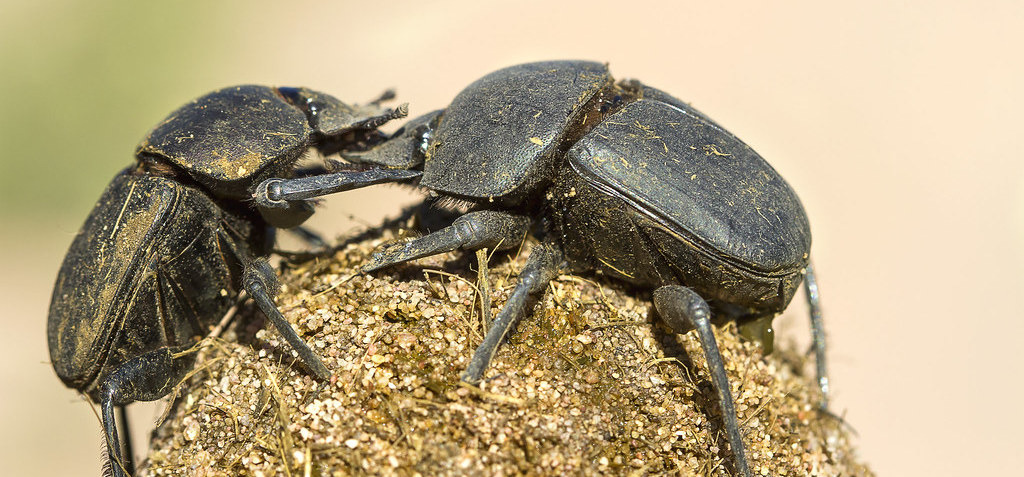 Dung Beetles Use the Sky to Navigate – but How Exactly? - The Wire Science