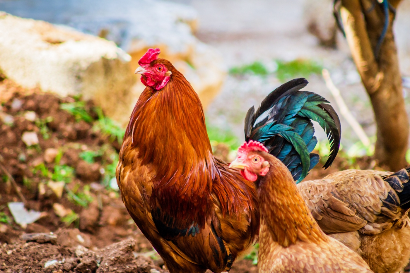 Avian Influenza Outbreak: How Safe Is It To Eat Poultry Meat, Eggs? – The Wire Science