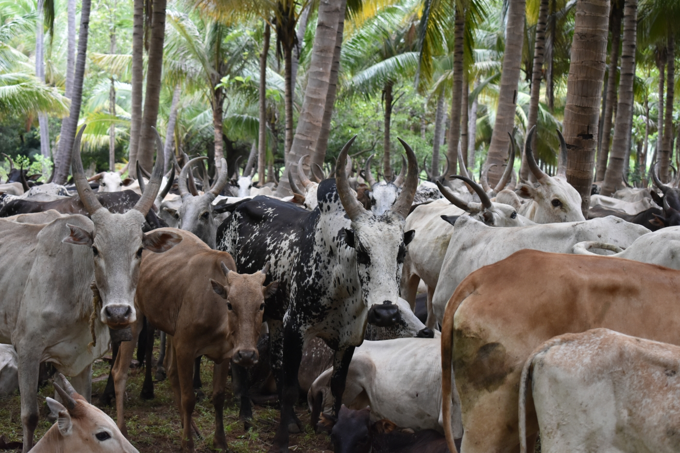 In Tamil Nadu, Herders Feel Sidelined as Native Cattle Breeds Dwindle – The Wire Science