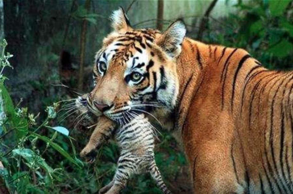 Study Suggests Habitat Loss Is Leading To Inbreeding of Indian Tigers – The Wire Science