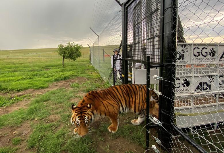 Asia's 'Tiger Farms' Have Rendered a Wild Animal Worth More Dead Than Alive – The Wire Science