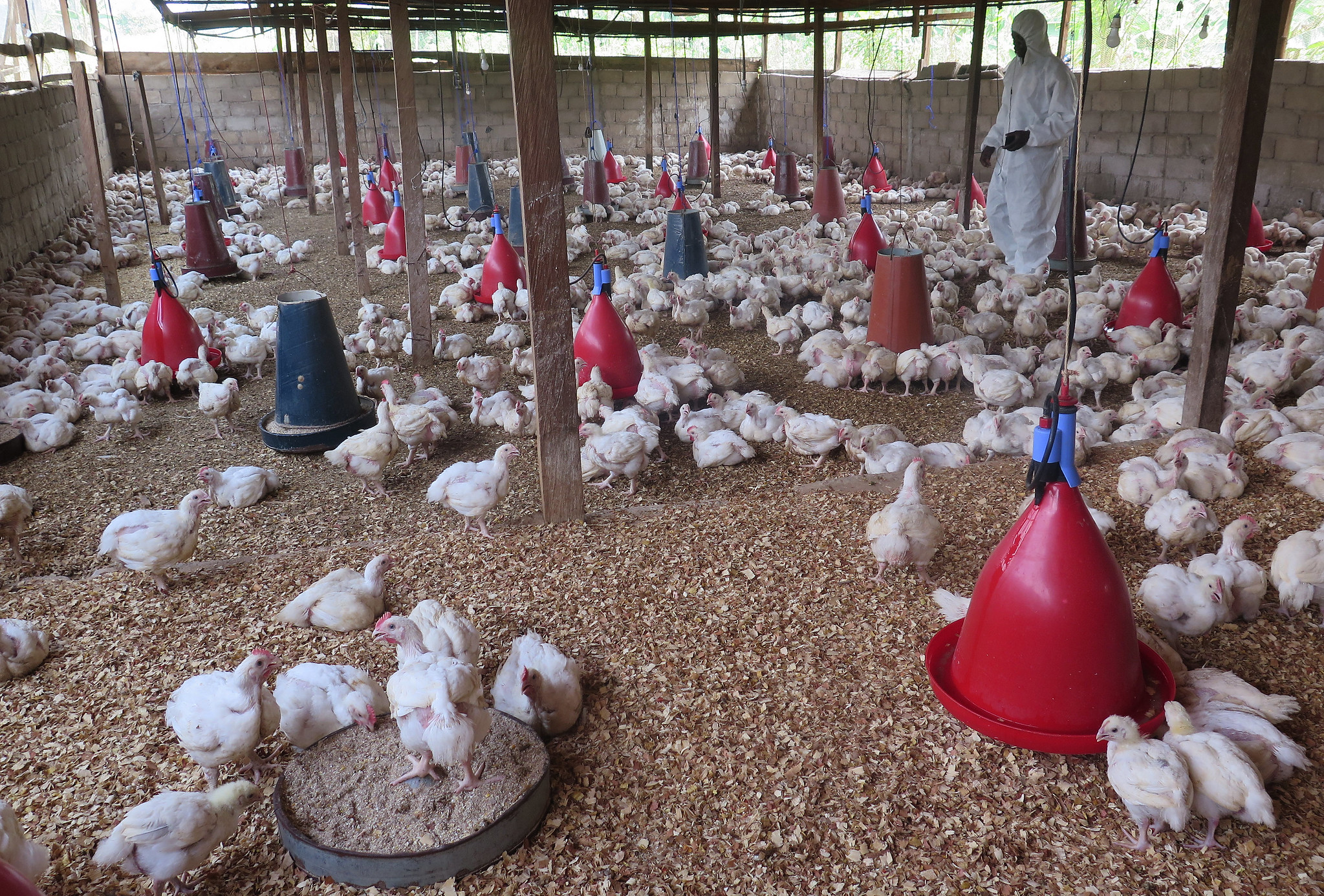 Explained: The Science of Avian Influenza – The Wire Science