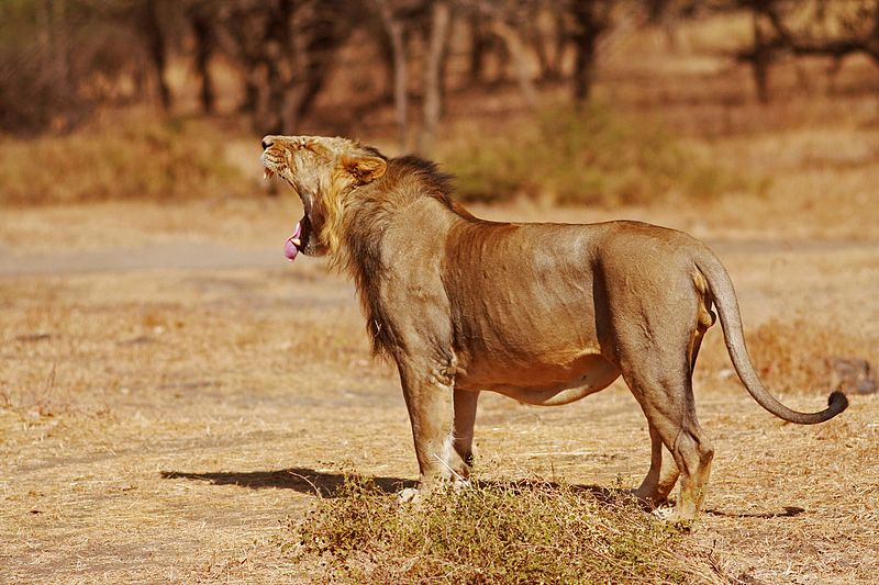 Gujarat Govt Says 313 Gir Lions Dead In Two Years – The Wire Science