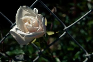 The Story of a Rose Plant: Khalid Saifi's Letter from Prison