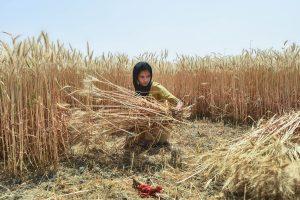 After Five-Year Gap, FCI Resumes Proper Wheat Procurement at MSP in Delhi
