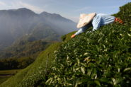 Photos: In Taiwan Tea Country, a Scramble to Adapt to Extreme Weather